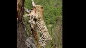 Leoparzi în copaci