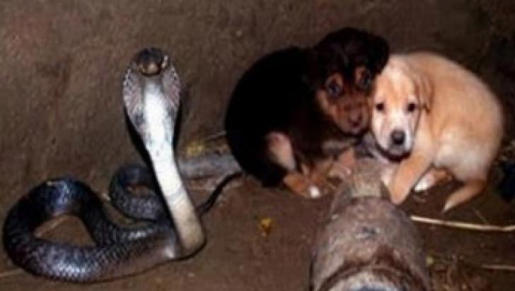 Doi căţeluşi au căzut într-un puţ. Acolo se afla o cobra regală. S-a apropiat de ei. Continuarea şoc