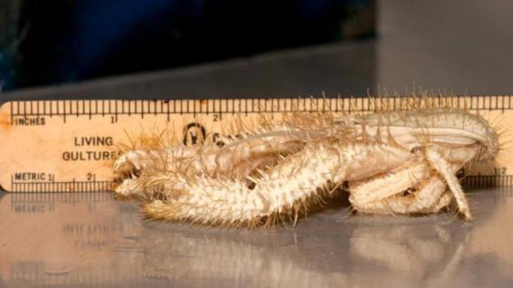 Aceste crustacee sunt aproape indestructibile. S-au adaptat celor mai vitrege condiții de viață