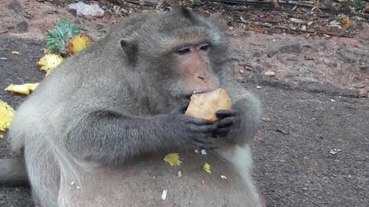 Cea mai grasă maimuță din lume a fost trimisă în cantonament ca să slăbească