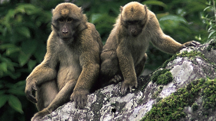 Atac NEAȘTEPTAT în India: Un grup de maimuțe a furat probe de sânge recoltate de la pacienți COVID-19