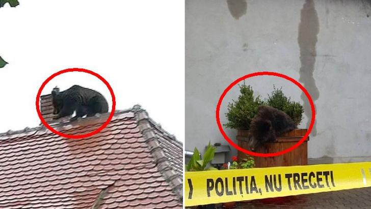 Mai ţineţi minte scandalul ursului împuşcat în Sibiu? Şeful Poliţiei, detaşat atunci, a fost...