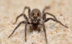 Păianjen-lup