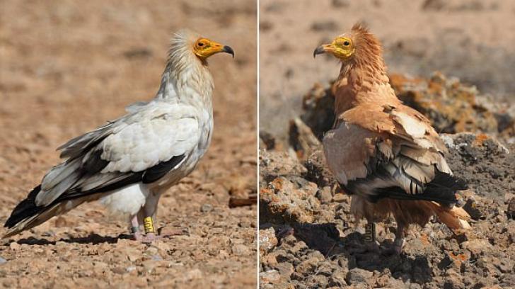 Aceste păsări folosesc noroiul pe post de machiaj! Comportamentul neobişnuit descoperit la ele