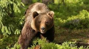 Cioban din Harghita, LA SPITAL după ce a fost muşcat de urs