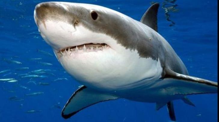 Un rechin alb a intrat în cușca metalică a unui scafandru! Momente de GROAZĂ