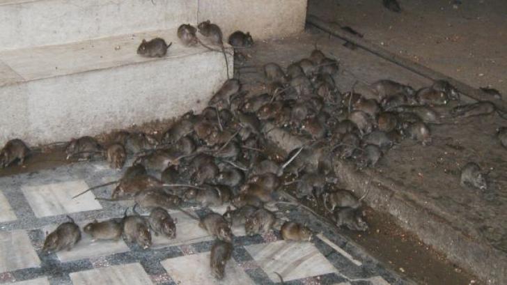 Sate întregi invadate de şobolani! Localnicii sunt îngroziţi