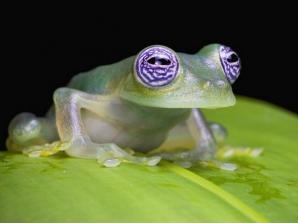 Broscuța din specia Centrolenidae