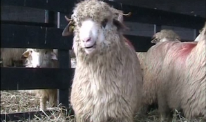 Ciobanii, vânaţi de Fisc