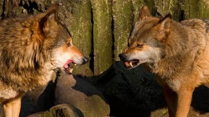 Pilda celor doi lupi. O vei citi în 20 de secunde, dar o vei ține minte toată viața!