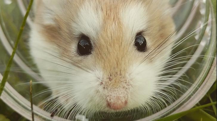 Ca-n comedii. Și-a dus hamsterul la veterinar pentru că nu se mișcase 3 zile. Râzi când afli de ce