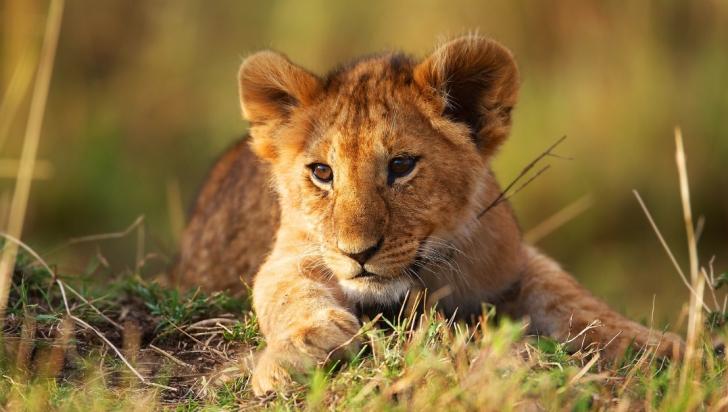 Imagini tulburătoare! Pui de leu salvat la limită de la înec
