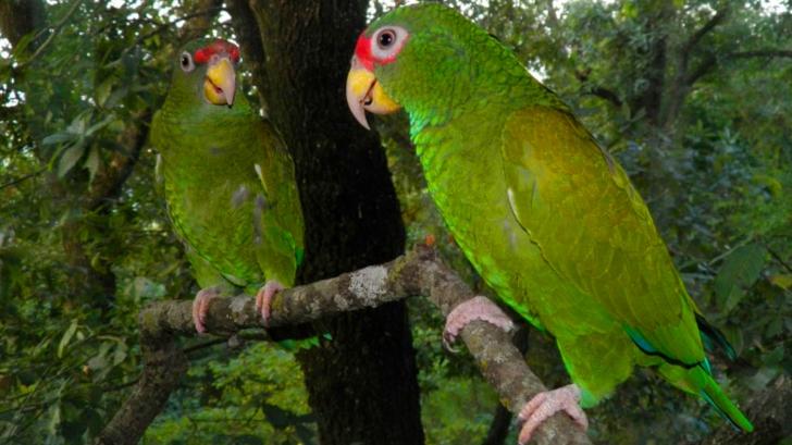 Natura a luat prin surprindere biologii. O nouă specie de papagal descoperită în Mexic