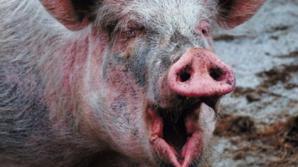 O femeie din Bacău a murit după ce a fost muşcată de un porc. Ce s-a întâmplat, de fapt, e ireal!