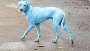 Câinii cu blană albastră