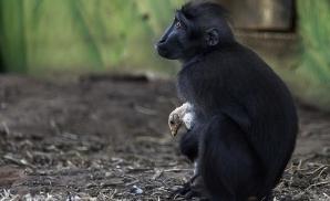 Maimuța și găina