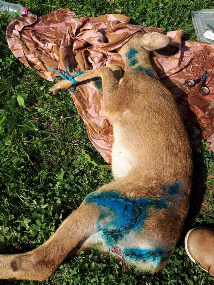 Căprioare sfâşiate de câini