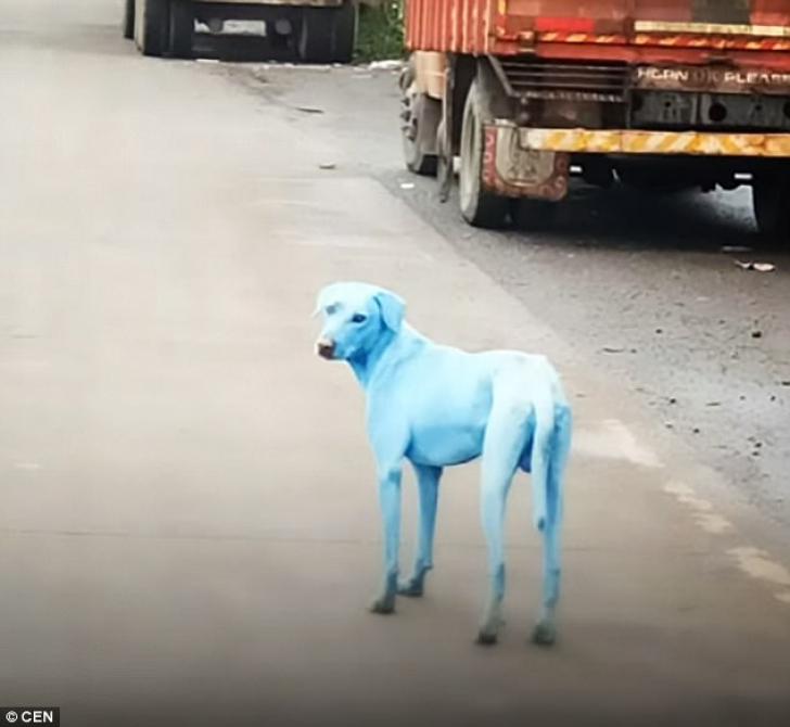 <p>Caini albastri</p>
