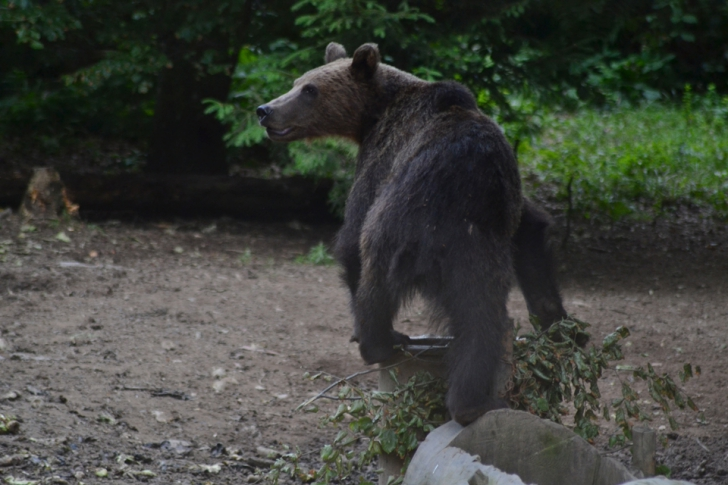 Bărbat atacat de urs în Harghita