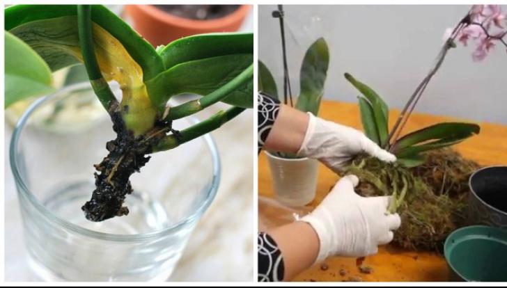 Cum readuci la viaţă o orhidee ofilită