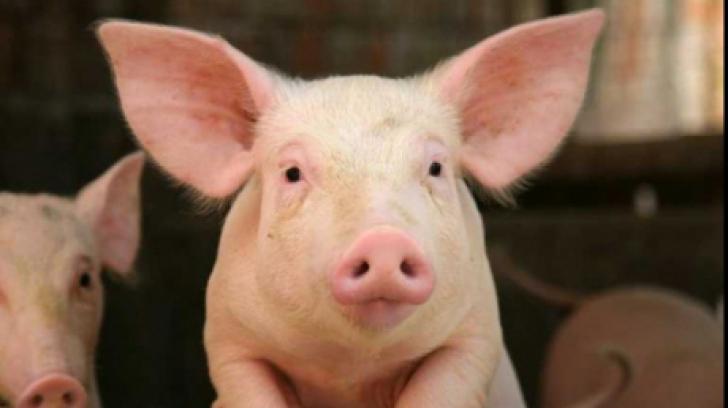 ALERTĂ în România, din cauza pestei porcine. ANSVSA a confirmat primul focar