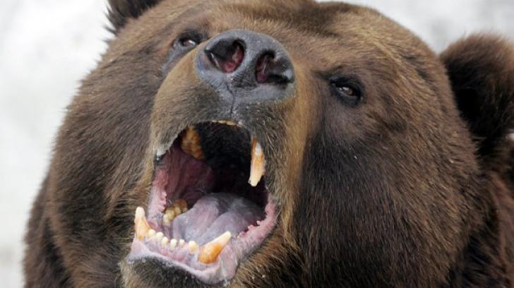 Cioban atacat de urs, în Prahova! A fost salvat de câinii de la stână