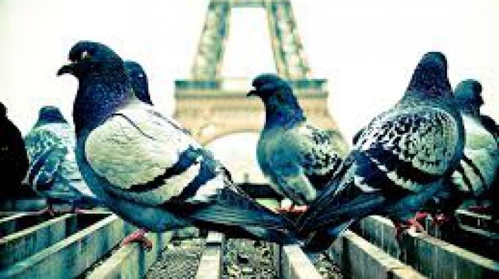 Cum sunt speriaţi PORUMBEII în Paris, după ce au transformat centrul într-un adevărat IAD