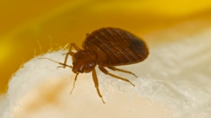 Gândacul care te îmbolnăveşte de anemie