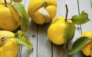 Beneficiile miraculoase ale frunzelor de gutui pentru sănătate. Le vei consuma şi tu!