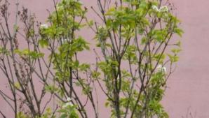 Natura face spectacol la Reşiţa: a înflorit liliacul, în noiembrie!