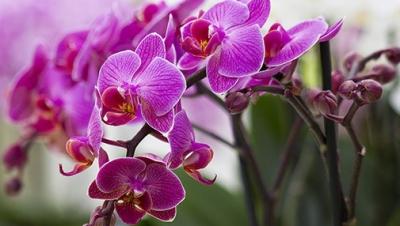 Cum stimulezi orhideea să înflorească din nou: truc genial pentru flori superbe