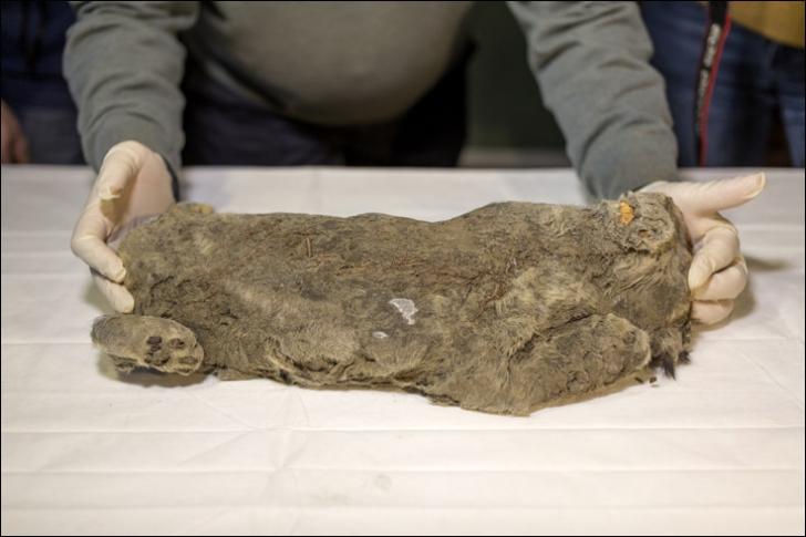 Corpul perfect conservat al unui animal legendar din Epoca de Gheață, găsit în Siberia