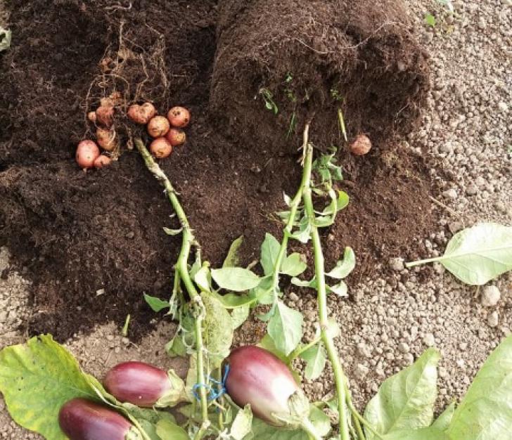 Un agricultor din România a obţinut o plantă care produce, în acelaşi timp, şi cartofi, şi vinete