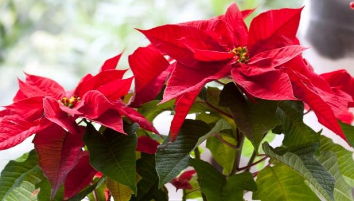 Cum se îngrijeşte CRĂCIUNIŢA şi ce înseamnă dacă se usucă. Trebuie să o ai în casă de Crăciun!
