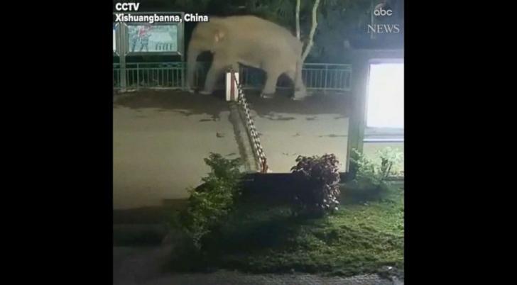 """""""Vacanţa"""" unui elefant - a fost surprins de camere în timp ce trecea graniţa din China în Laos"""