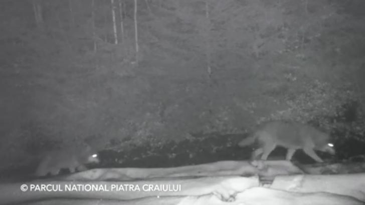 Haită de lupi filmată într-o pădure în Parcul Naţional Piatra Craiului