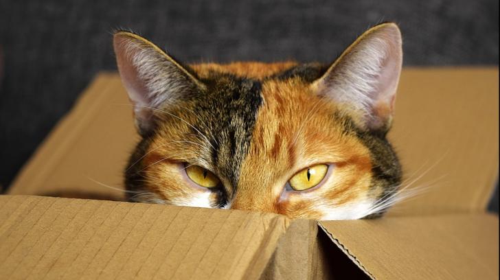 De ce le plac pisicilor atât de mult cutiile