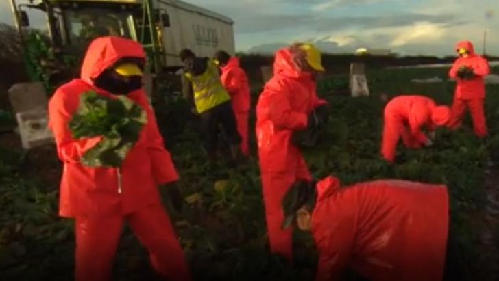 Tinerii britanici au încercat să facă munca imigranților, pe câmp. Rezultatul: eșec total - VIDEO