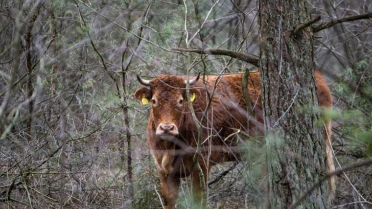 O vacă a devenit vedetă naţională în Olanda. Motivul este absolut surprinzător