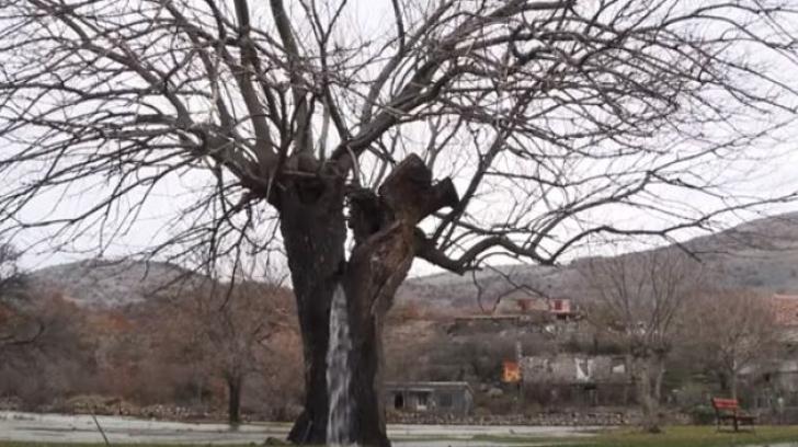 Fenomen uluitor! Curge apa dintr-un copac
