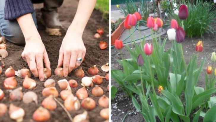 Plantarea lalelelor. Sfaturi ca toți bulbii să dea flori