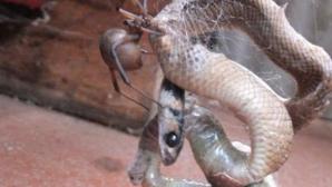 Momentul terifiant în care un şarpe, prins în pânza mortală a unui păianjen, este devorat