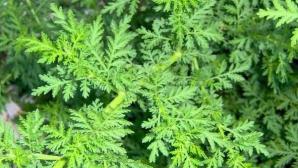 Aceasta este planta miraculoasă care ucide 98% din celulele canceroase în doar 16 ore