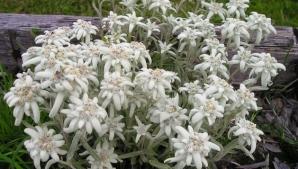 Floarea-de-colţ este regina Carpaţilor. Cum o poţi avea în gradina de acasă