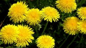 Planta minune care tratează cancerul, hepatita şi alte boli. Tu ştii care este?