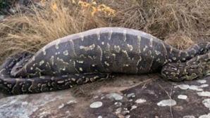 Acest şarpe a crezut că a dat de prada perfectă. După ce a înghiţit-o, a regretat amarnic. Oribil!