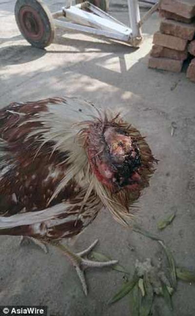 Un pui de găină decapitat continuă să trăiască. Specialiștii nu înțeleg. Cum arată!