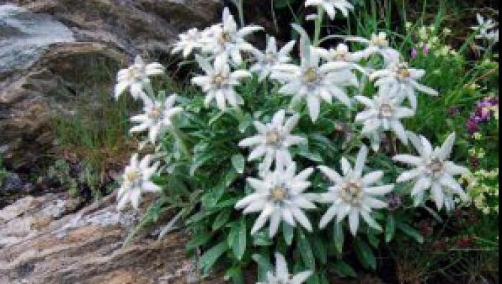 Floarea-de-colt
