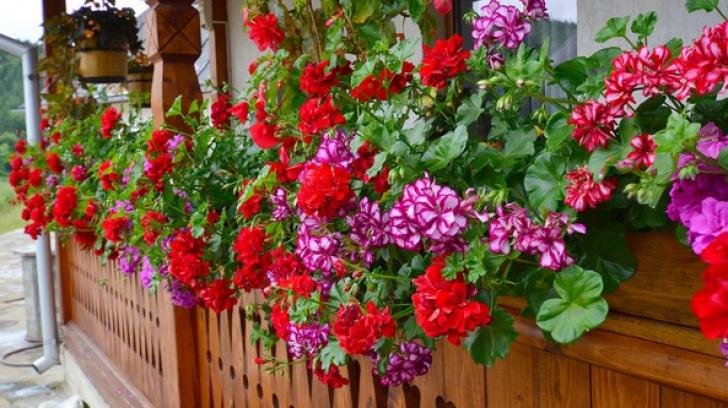Cum să înmulţeşti corect muşcatele. Sfaturi simple pentru o bogăţie de flori