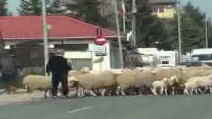 Gigi Becali, cu turma de oi prin Pipera